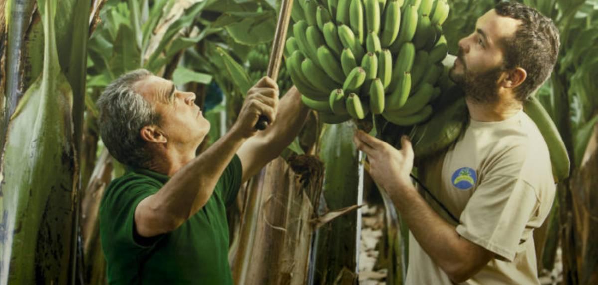 El plátano de Canarias, el mejor alimento para comer antes y después de un entrenamiento, beneficios